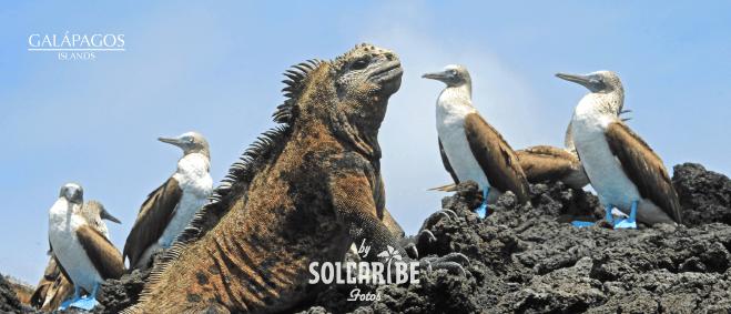 Galápagos golden